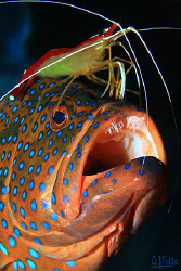 Cleaning shrimp on a red grouper. by Arthur Telle Thiemann