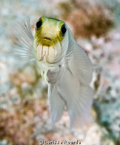 Jawfish by Larissa Roorda