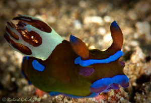 Nudibranch-Tambja Morosa-Lembeh by Richard Goluch
