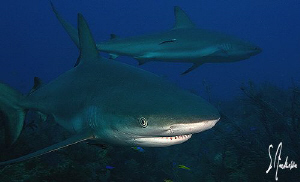 Reef Sharks everywhere! Love Tiger Beach! by Steven Anderson