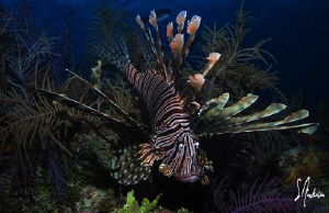 Yes another Lionfish! The invasion continues...... This i... by Steven Anderson