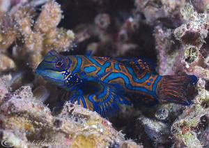 Mandarin fish. Lembeh straits. D200, 60mm. by Derek Haslam