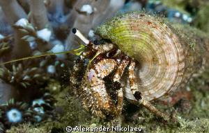 Hermit crab. Canon 40D, Canon 100mm MACRO. by Alexander Nikolaev