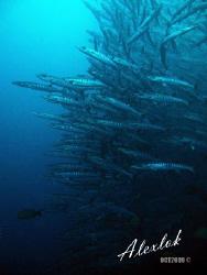 Amazing barracudas by Alex Lok