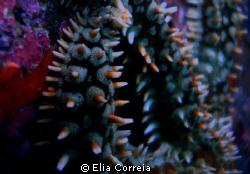 Sea Star! by Elia Correia