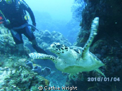 awesome sea turtle. swimming along, i turned around and t... by Cathie Wright