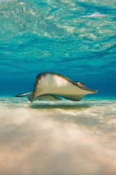 Early morning natural light shot of a Southern Stingray a... by Paul Colley