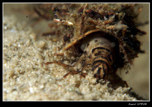 phryganea grandis - once the underwater life is over, it ... by Daniel Strub