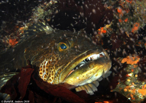 Lingcod (Ophiodon elongatus)  San Miguel Island with Krill by David Andrew