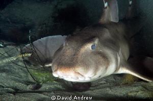 Horn Shark (Heterodontus francisci) at La Jolla Shores. by David Andrew
