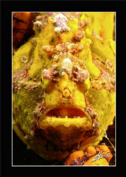 Giant Frog Fish in Kapalai House reef by Adriano Trapani