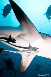 Air Bull - These huge pectoral fins belong to a 3m female... by Sam Cahir