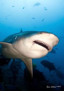 Feb-March in Fiji brings the hungry female bull sharks ba... by Sam Cahir