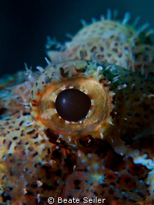 Eye of a Scorpionfish , taken with Canon G10 an UCL165 by Beate Seiler