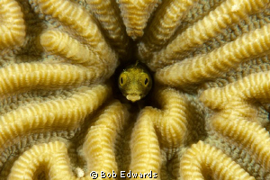 Secretary Blenny in brain coral (Canon 40D in Ikelite hou... by Bob Edwards