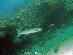 This Barracuda followed me around for about 5 minutes by Dylan Mccrady