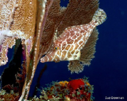 Slender File Fish in Utila, shot with an Olympus E520 and... by Susan Beerman