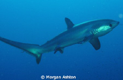 Thresher shark. Twelve minutes and 100 ft. into my first ... by Morgan Ashton
