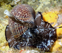 Tun Snail by Martin Dalsaso
