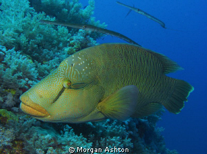 Napoleon Wrasse and friends at Big Brother. by Morgan Ashton