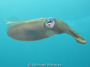 A friendly squid, Vieques, P.R. by Abimael Márquez