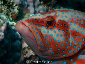 Coral Grouper, taken with Canon G10 and UCL165 by Beate Seiler