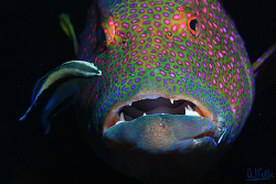 Cleaning goby on a viola grouper. by Arthur Telle Thiemann