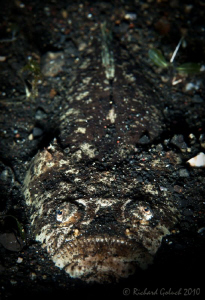 """Waiting for supper""-Stargazer found in  Lembeh by Richard Goluch"