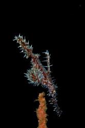 Ornate Ghost Pipefish by Steve De Neef