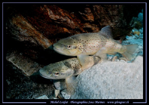Trouts having a rest - in the strong currents of the Verz... by Michel Lonfat