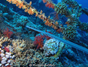 Coronet fish on the wreck of the Numidia. Big Brother. Se... by Morgan Ashton