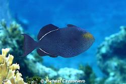 Caribbean Black Durgon by Michael Canzoniero