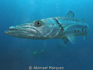 Barracuda by Abimael Márquez