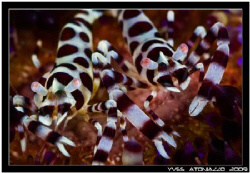 Classic Colman shrimps couple for me today   D200/105 VR by Yves Antoniazzo