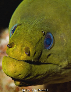 """Mr. Green""  Moray eel   105mm by Larissa Roorda"