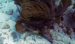 A lobster hiding in key largo by Dylan Mccrady