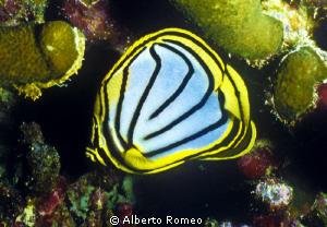 Portrait of a lined butterflyfish (Chaetodon meyeri) by Alberto Romeo