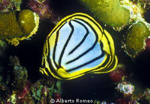 Portrait of a lined butterflyfish (Chaetodon meyeri) by Alberto Romeo