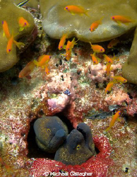 Thinking about it!! Twin morays contemplate grabbing a li... by Michael Gallagher
