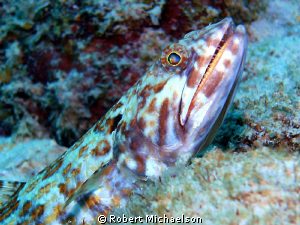 Blue-striped lizard fish. The reflection in the eye remin... by Robert Michaelson