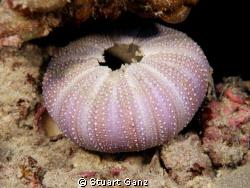 Urchin shell by Stuart Ganz