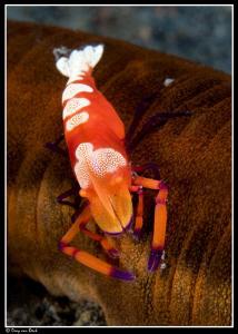 Emperor shrimp by Dray Van Beeck