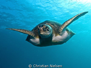 Green Turtle in the descend.