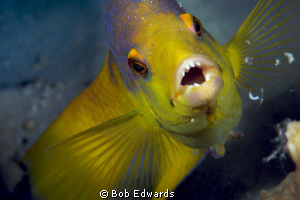 This Spanish Hogfish wanted me to back up.  Taken with a ... by Bob Edwards