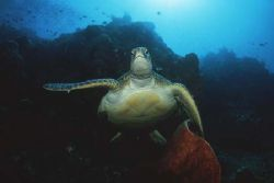 Turtle. Bunaken, Indonesia. Nikon F90X, 16mm by Pablo Pianta