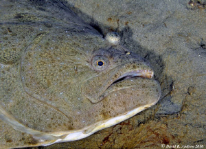 California Halibut (Paralichthys californicus) at La Joll... by David Andrew