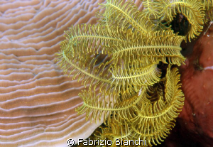 Feather Star and coral by Fabrizio Bianchi