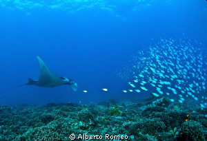 A mantaray eating plankton and little fishes by Alberto Romeo