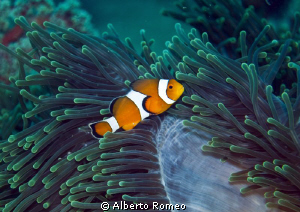 False  Clown Anemonefish  (Anphiprion percula) and his ma... by Alberto Romeo