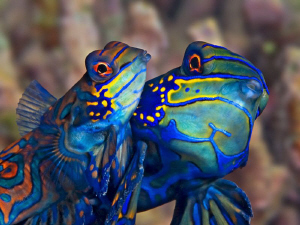 """Mating Mandarins""